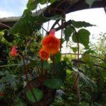 mashua in bloei