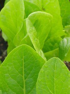 zaden zaaien in de volle grond sla