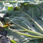 mulch permacultuur moestuin rarbarberblad als mulch