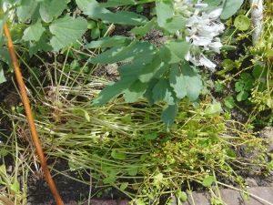de edele kunst van het mulchen - postelein onder tuinbonen