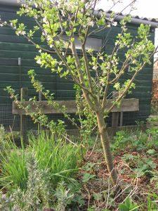 Wat zijn microklimaten appelboom
