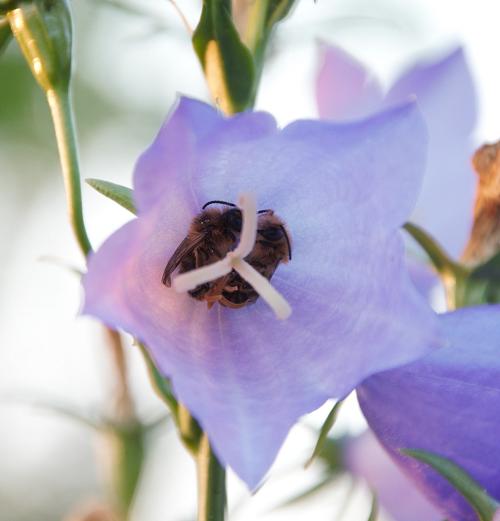 eetbare vaste planten bijen